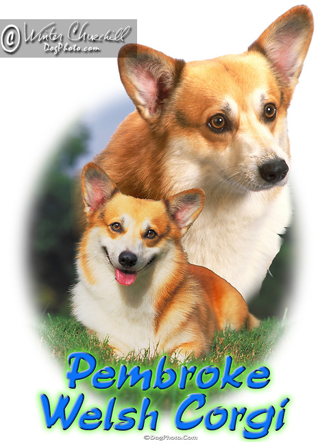 Pembroke Welsh Corgi aka PWC This design is offered on gift merchandise ONLY.<br />