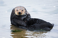 sea otter, Enhydra lutris nereis, hauled out, Moss Landing, Monterey Bay National Marine Sanctuary, Monterey, California, USA, Pacific Ocean