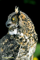 OW06-051z   Great Horned Owl - turning head - Bubo virginianus