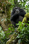 Africa, Uganda, Kibale National Park, Ngogo Chimpanzee Community. Adult female chimpanzee, Kidman