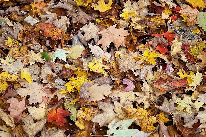 Fallen autumn leaves, Vermont, VT
