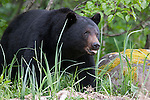 Black bear, Glacier Bay National Park, Alaska