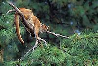 COUGAR/MOUNTAIN LION/PUMA..Male sleeping in ponderosa pine. Summer..British Columbia. (Felis concolor).