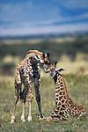 Two Newborn Baby Masai Giraffe (Giraffe camelopardalis tippelskirchi), Masai Mara National Reserve, Kenya, Africa