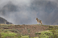 Gray wolf on a mountain ridge in Denali National Park, Alaska.
