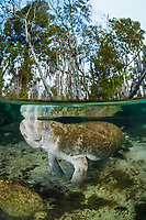 Florida manatee, Trichechus manatus latirostris, a subspecies of West Indian manatee, Trichechus manatus, being cleaned by sunfish, Three Sisters Springs, Crystal River, Florida, USA