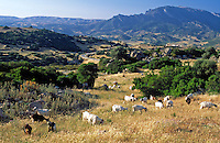 Italy, Sardinia, Nationalpark Gennargentu-Golfo di Orosei: goats