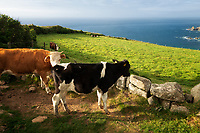 Cows in pasture in Cornwall. England