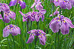 grouping of blooming iris flowers