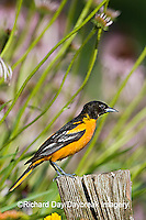 01611-08313 Baltimore Oriole (Icterus galbula) female in flower garden  Marion Co. IL