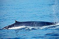 fin whale, Balaenoptera physalus, California, USA, Pacific Ocean