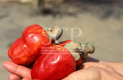 Amazon, Brazil. Cashew nut on someone's palm.