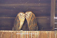 01110-00314 Common Barn-Owl (Tyto alba) immatures on top of nest box Marion Co.   IL
