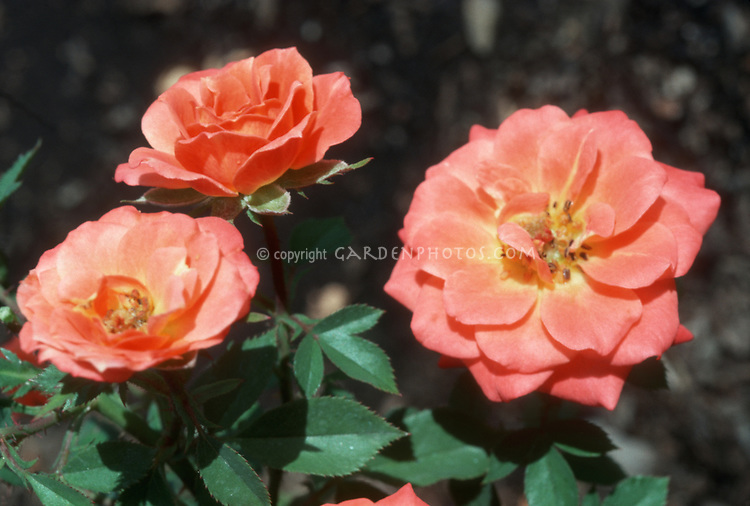 Rosa 'Pride & Joy' orange roses miniature patio type roses  'Pride 'n' Joy'