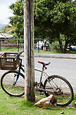 JAMAICA, Port Antonio. Bicycle and chickens at the side of the road.
