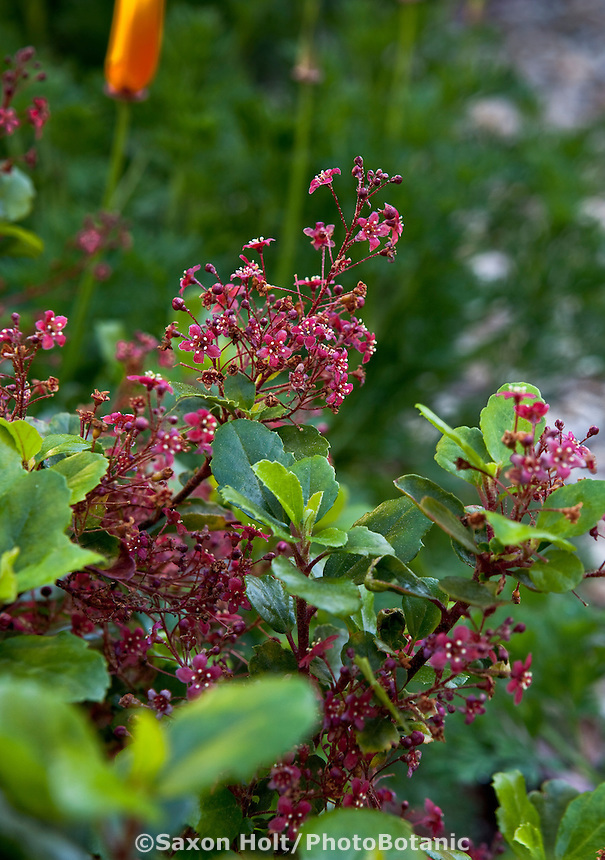Red flowers of Catalina Perfume, evergreen currant - Ribes viburnifolium in Southern California native plant garden