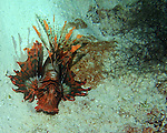 second lion fish, just before his untimely death