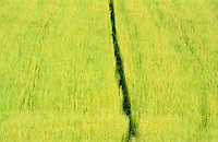 Germany, field with linseed or flax / Deutschland, Feld mit Flachs, Nutzung als Oellein oder Leinfaser