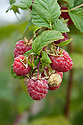 Autumn-fruiting raspberry 'Glen Lyon', early October.