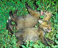 Brothers are the most fun- red fox kits laughing in the grass, Midwest USA