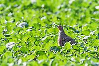 Rebhuhn, Perdix perdix, grey partridge, English partridge, Hungarian partridge, hun, La Perdrix grise