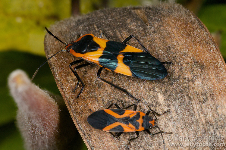 Close-up view of a Large Milkweed Bug (Oncopeltus fasciatus) at top above a False Milkweed Bug (Lygaeus turcicus) at bottom on a Butterfly Weed (Asclepias tuberosa) seedpod.  The False Milkweed Bug is related to the Small Milkweed Bug (Lygaeus kalmii) for which it is often mistaken.