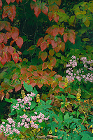Lowrie's aster and flowering dogwood<br />