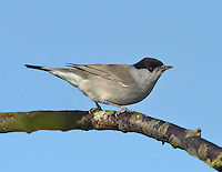 Blackcap Sylvia atricapilla - Male. L 14-15cm. Distinctive warbler with a musical song. Sexes are dissimilar. Adult male has grey-brown upperparts, dusky grey underparts, palest on throat and undertail, pale eyering and diagnostic black cap. Adult female and juveniles have grey-brown upperparts, pale buffish grey underparts (palest on throat and undertail) and reddish chestnut cap. Voice Utters a sharp tchek alarm call. Song is rich and musical warble; similar to Garden Warbler's but contains jaunty phrases. Status Common summer visitor to deciduous woodland with dense undergrowth, scrub and mature gardens. Migrants from N Europe pass through in autumn and some remain throughout winter.