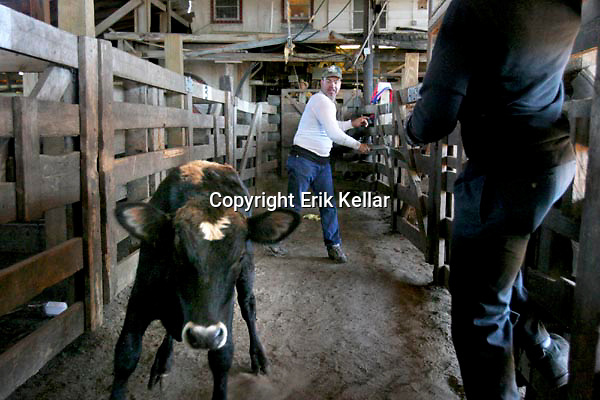 Lake Okeechobee Day 2.Neil Anderson, an employee of the Okeechobee Livestock Market Inc.,.slaps cattle on the back to herd them into pens after a recent cattle.auction in Okeechobee. Cattle ranches and dairy farms cover vast acreage north of Lake Okeechobee.. Erik Kellar