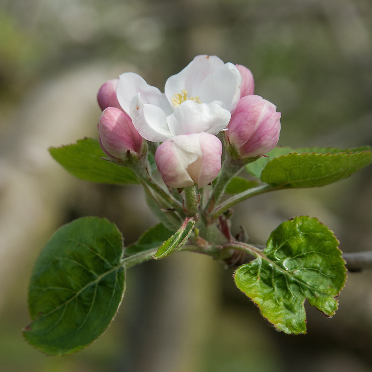 Blossom of Apple 'Violette', early May. A very old French dessert apple dating back to the early 17th century. Grown in England by the 1670s.
