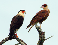 Adult and juvenile crested caracaras