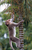 20080131_Periyar, India_ A Bonnet Macaque monkey climbs a tree to eat yellow palm fruit, near the Periyar Wildlife Sancuary in the Southern Indian state of Kerala.  Photographer: Daniel J. Groshong/Tayo Photo Group