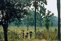 Sorgum plantation undertrees