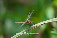 06660-00106 White-faced Meadowhawk dragonfly (Sympetrum obtrusum) male, Jo Daviess Co.,  IL