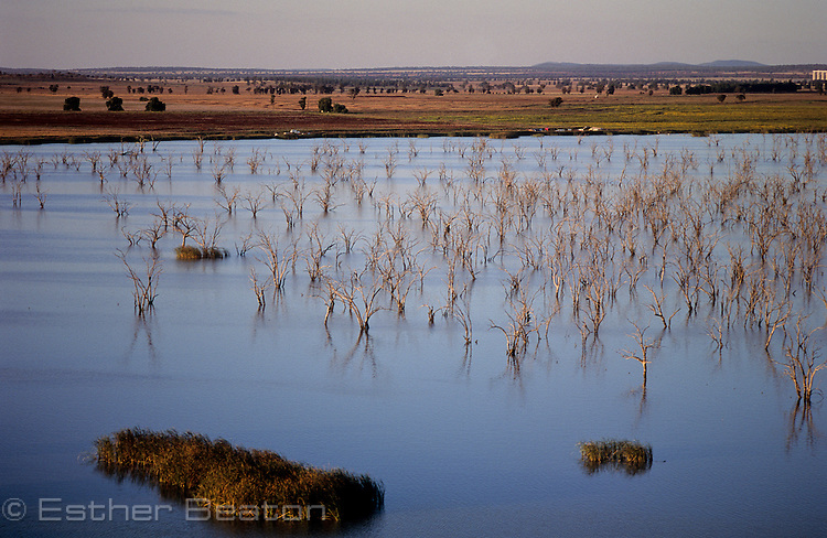 Flooded box trees (eucallyptus) with nests of cormorants and herons in Barren Box Swamp, irrigation scheme in Riverina area of New South Wales