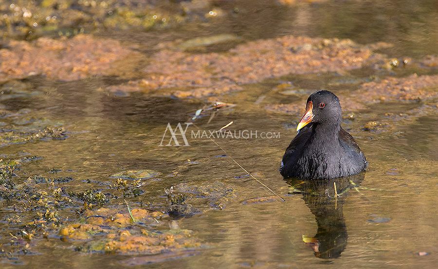 A Common moorhen hangs out in a pond in Ranthambore National Park.