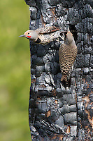 The Red-shafted Northern Flicker (Colaptes auratus) is a medium-sized member of the woodpecker family. They are cavity nesters who typically nest in trees. They prefer to excavate their own home though they will reuse and repair damaged or abandoned nests. It takes about 1 to 2 weeks to build the nest which is built by both sexes of the mating pairs. The entrance hole is roughly 2-4 inches wide.<br />