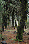 Moss on tree in El Hierro forest, Canary Islands,Spain.
