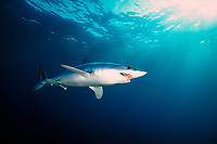 Shortfin mako, Isurus oxyrinchus, California, USA, East Pacific Ocean