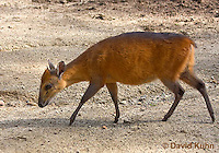 0601-1101  Red-flanked Duiker, Cephalophus rufilatus  © David Kuhn/Dwight Kuhn Photography