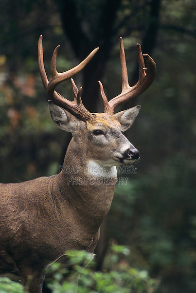 White-tailed Deer (Odocoileus virginianus), buck, Minnesota, USA