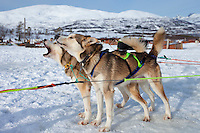 Alaskan Huskies eagerly howl at Villmarkssenter wilderness centre on Kvaloya Island, Tromso in Arctic Circle Northern Norway