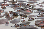 Tanzania, Serengeti, hippos in water, large group