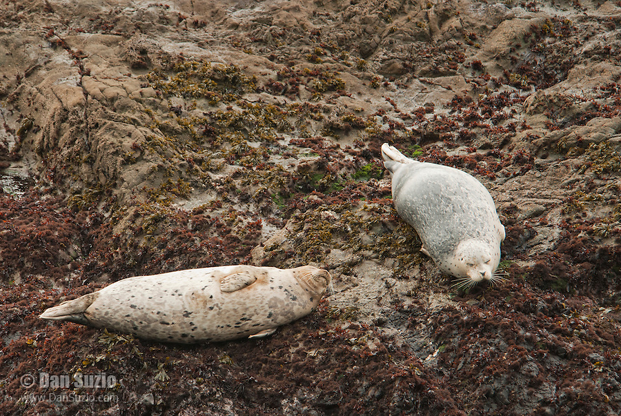 Harbor seals, Phoca vitulina, basking on rocks near Mendocino, California