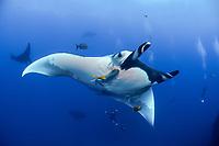 giant oceanic manta ray, Manta birostris, with remora, being cleaned by clarion angelfish, Holacanthus clarionensis , San Benedicto Island, Revillagigedo Islands, Mexico, Pacific Ocean
