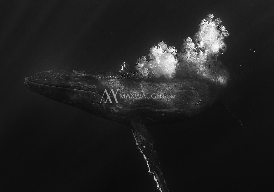 A humpback emits a fine steam of bubbles while it swims after other whales.