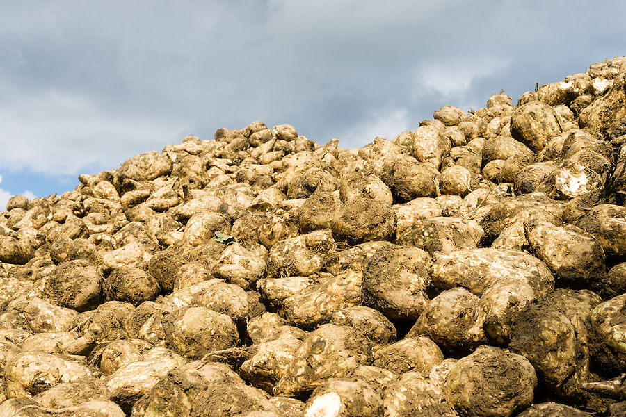 Sugar beets are harvested and drying to loosen up the clay and dirt