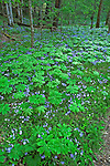 Spring, Mayapple & Phlox, Whiteoak Sink, Great Smoky Mtns NP, TN