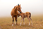 Mare with her colt. Morning fog in San Luis Obispo, California