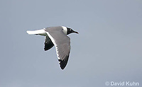 0609-0902  Laughing Gull in Flight, Leucophaeus atricilla  © David Kuhn/Dwight Kuhn Photography